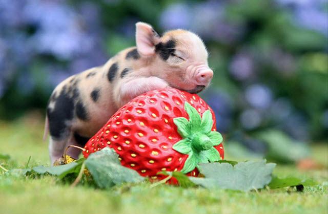 Em hãy miêu tả con lợn nhà em