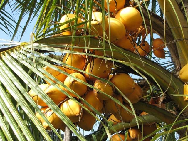 Tả cây dừa lớp 4