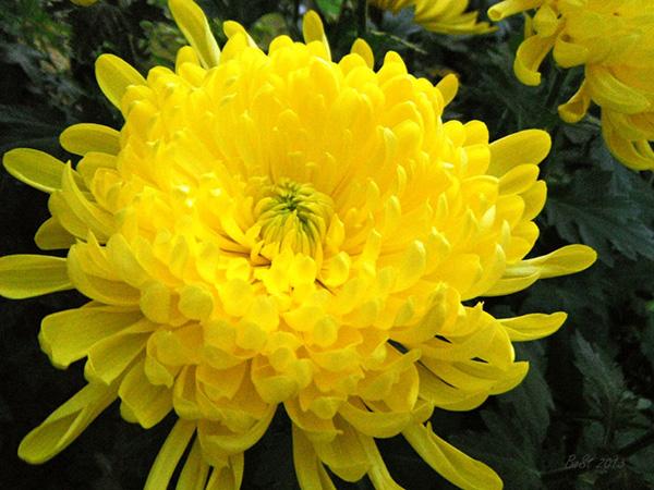 Ta cay hoa cuc - Tả cây hoa cúc trong vườn nhà em
