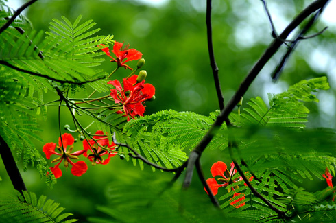 Tả lá cây phượng
