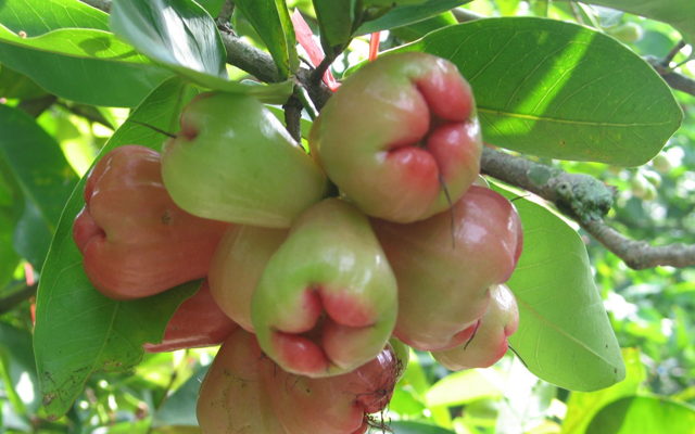 Tả cây ăn quả mà em thích
