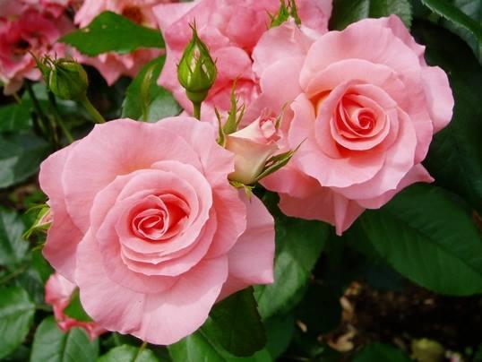 Dàn ý tả cây hoa hồng