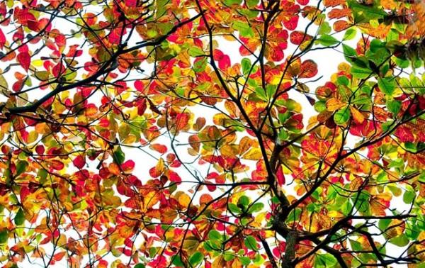 Tả cây bàng lớp 7