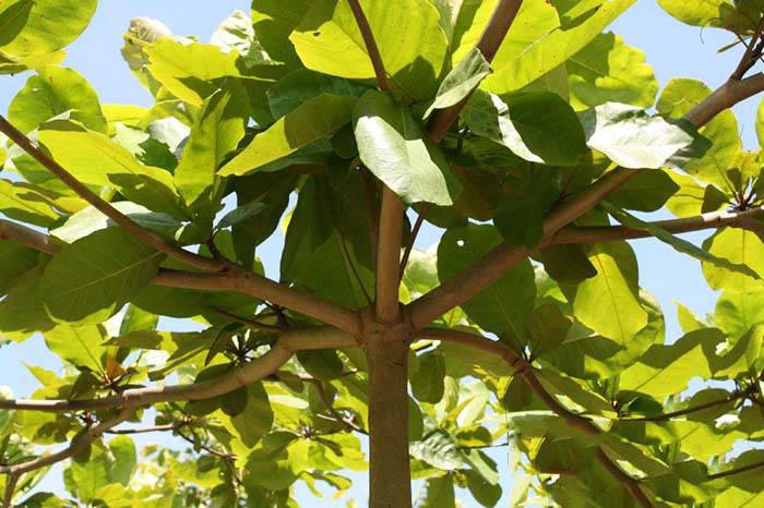 Tả cây bàng vào mùa hè