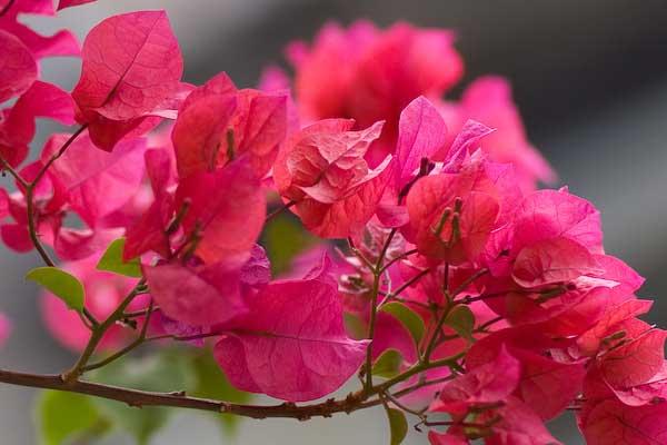 Ta cay hoa giay - Tả cây hoa giấy
