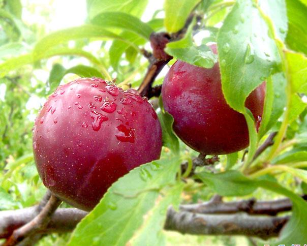 Tả cây ăn quả lớp 5