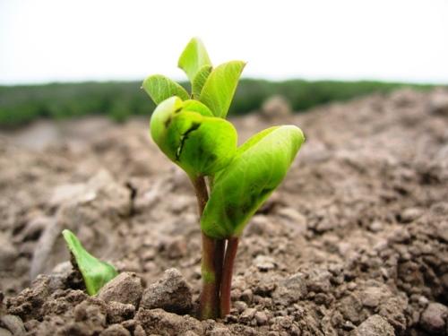 Ta cay non moi trong - Tả cây non mới trồng