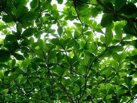 Tả lá cây bàng trong sân trường em